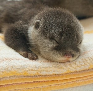ottersleep